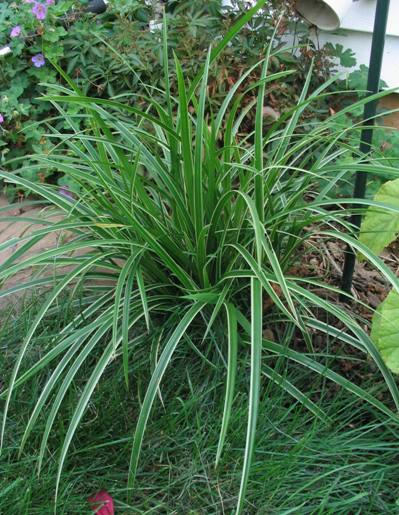 ice dance ornamental grass plants for each. Black Bedroom Furniture Sets. Home Design Ideas
