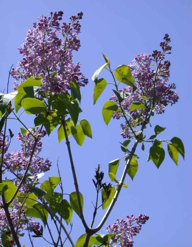 Syringa vulgaris old fashioned lilac