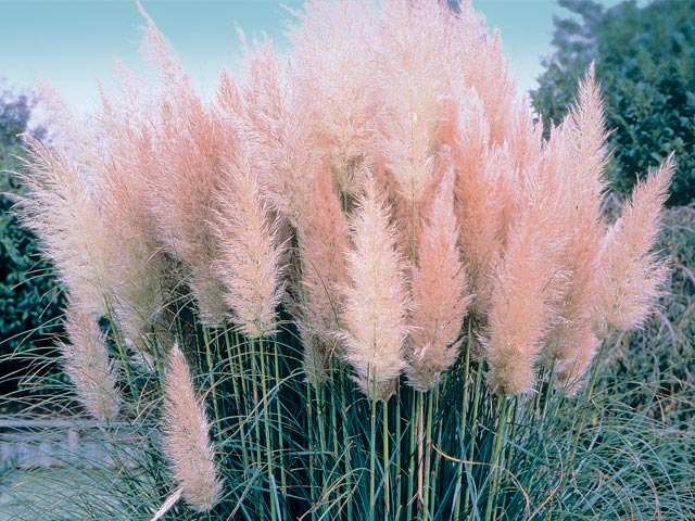 plant of the day pink pampas grass hollyhillnurseries. Black Bedroom Furniture Sets. Home Design Ideas