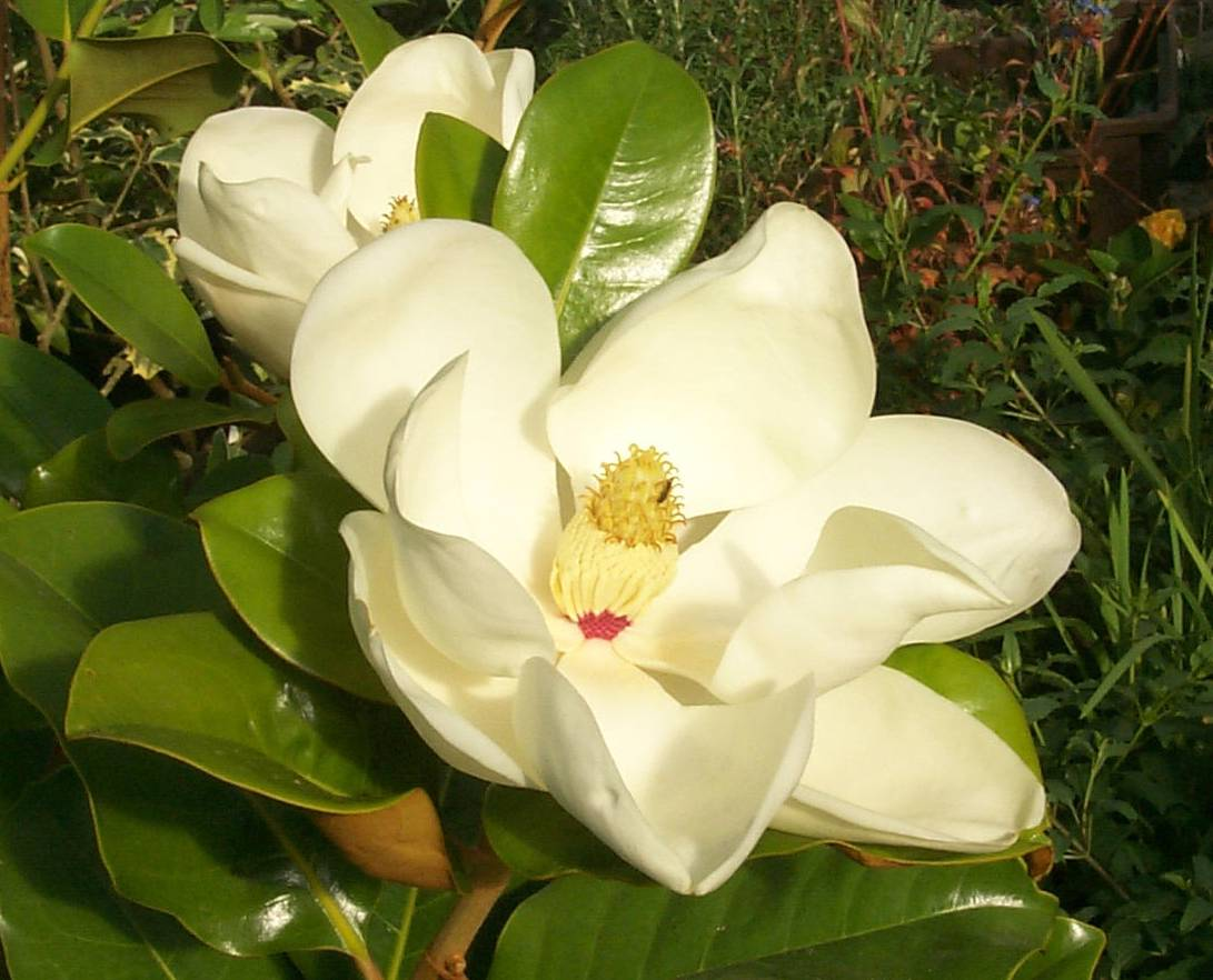 Plant of the day southern magnolia hollyhillnurseries - Magnolia grandiflora ...