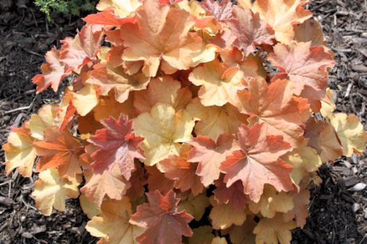 Plant-of-the-Day: 'Caramel' Coral Bells | hollyhillnurseries
