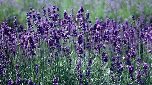 plant of the day english lavender hollyhillnurseries. Black Bedroom Furniture Sets. Home Design Ideas