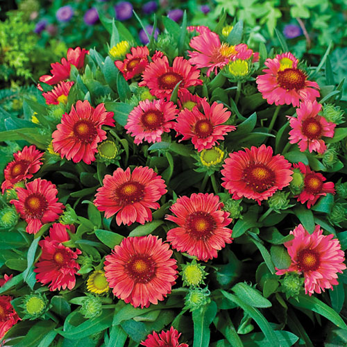 Today's special is our arizona red shades gaillardia these are