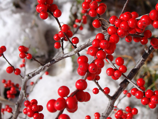 winter red winterberry | hollyhillnurseries