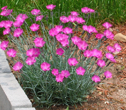 Cheddar pink dianthus perennial flowers now available todays mightylinksfo