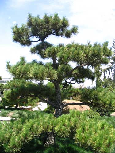 Japanese Black Pine Trees Now Available hollyhillnurseries