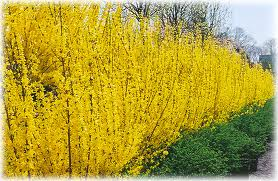 Forsythia x. intermedia 'Lynwood Gold Forsythia' 1-17-12
