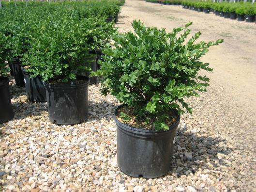 buxus-vardar-valley-12-22-12