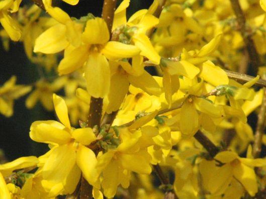 Forsythia Golden Bells 05-21-12