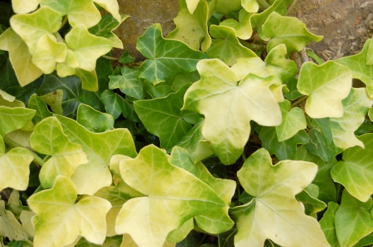HEDERA helix 'Buttercup' 12-19-12