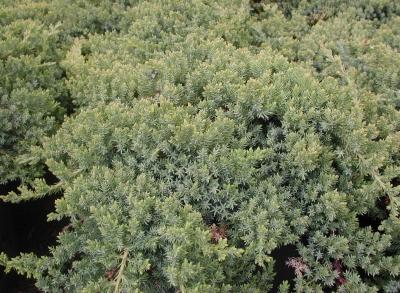 Juniperus proc. Nana 12-27-09