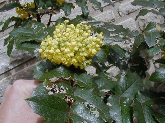MAHONIA aquifolium 12-13-12