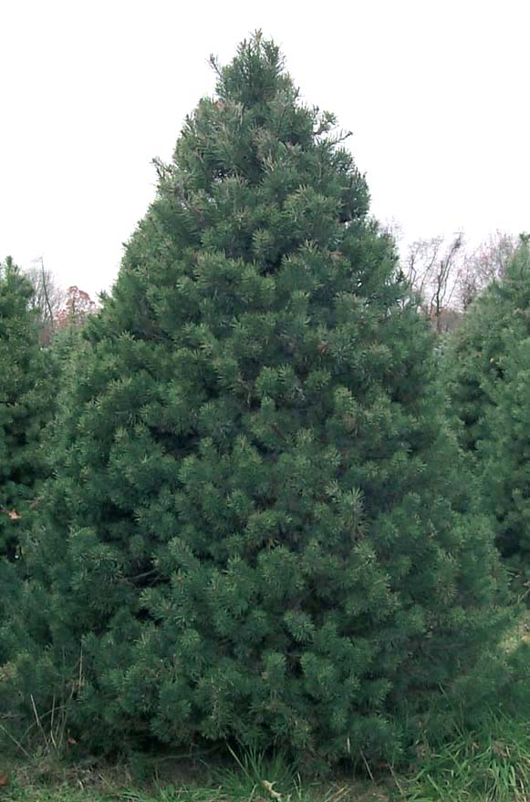 Live Christmas Tree Types