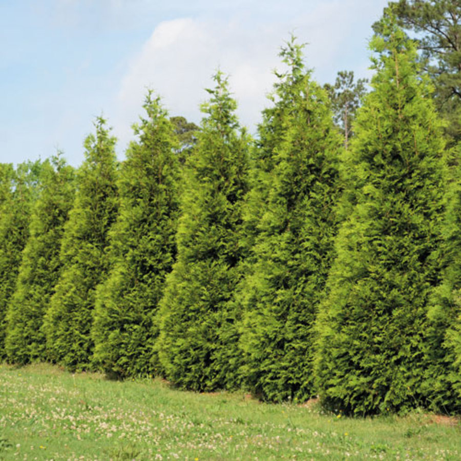 Arborvitae hollyhillnurseries for Green giant arborvitae