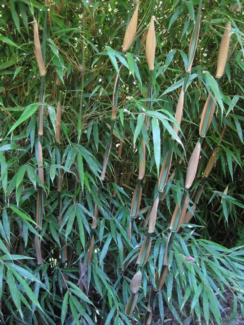 fargesia dracocephala rufa clumping bamboo plants hollyhillnurseries. Black Bedroom Furniture Sets. Home Design Ideas
