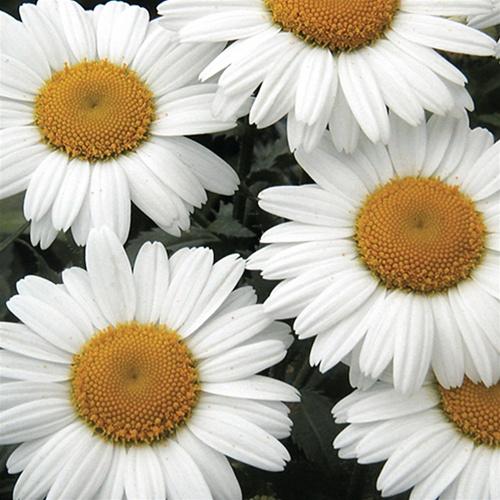 Leucanthemum Snowlady 04-07-12