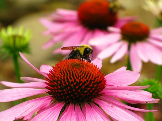Purple Cone Flower with Bee 01-20-2013