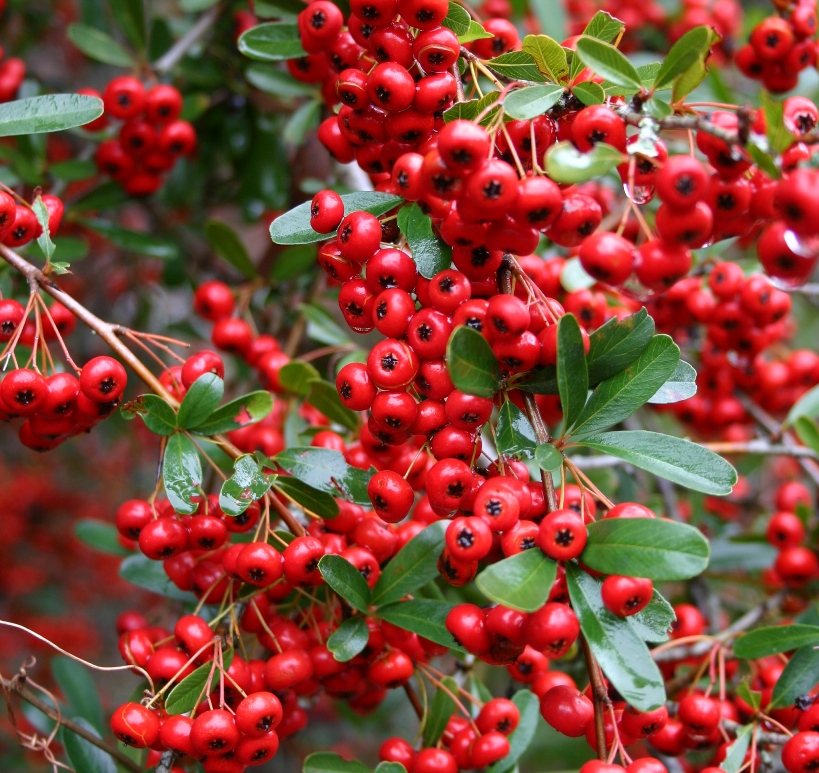 Chadwick s pyracantha plants now available for Piracanta pianta