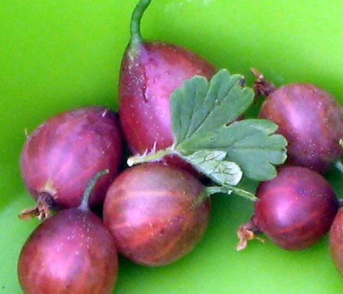 ribes hirtellum Captivator 01-12-2013
