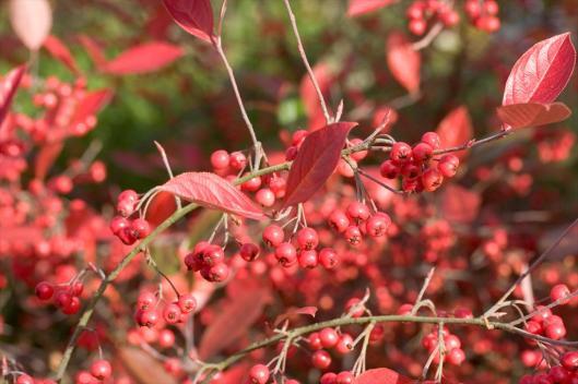 Aronia arbutifolia 'Brilliantissima' 10-20-12