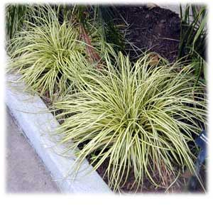 Carex o. Gold Strike 02-17-13