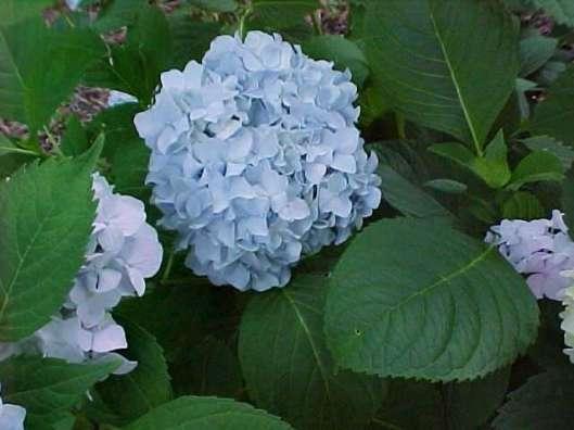 hydrangea mac nikko blue 05-17-12