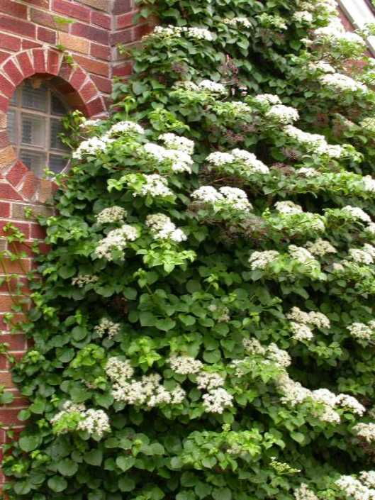 hydrangea petiolaris 06-18-12