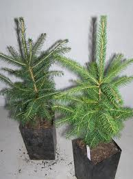 Picea abies actual 02-21-13