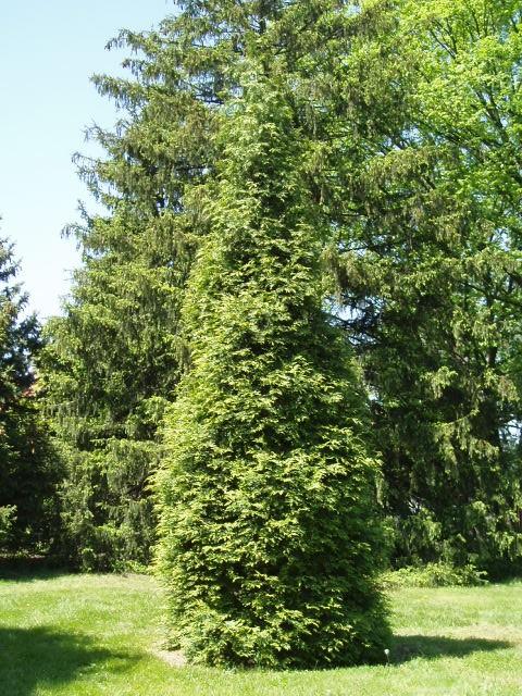Thuja plicata x. standishii 'Green Giant'