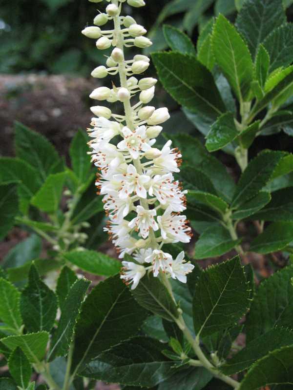 Clethra Alnifolia Rosea Clethra Alnifolia 'sixteen