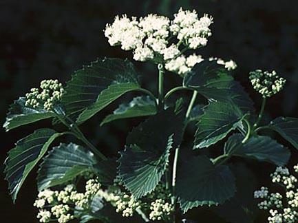 Viburnum dentatum 'Arrowhead'