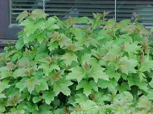 Viburnum opulus 'Nanum' 10-23-12