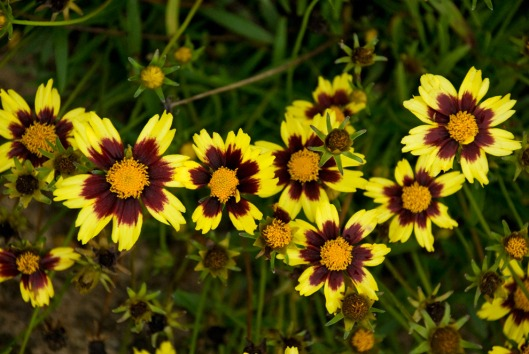 coreopsis cosmic eye 09-13-12