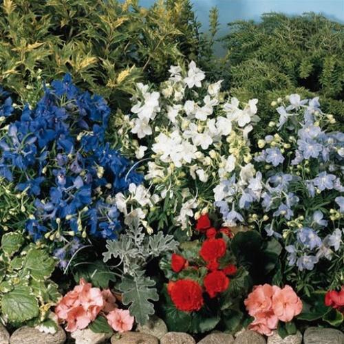 Delphinium g. Summer Colors 12-8-12
