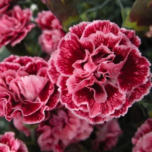 Dianthus Sugar Plum 12-8-12