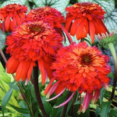 Echinacea Hot Papaya 12-8-12