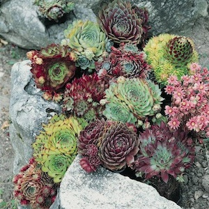 sempervivum_winter_hardy_mix_2 08-11-12