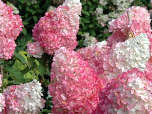 Vanilla-Strawberry-Hydrangea 06-19-2013