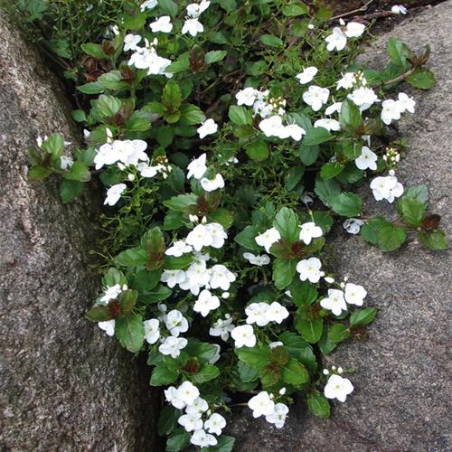sentimental blue  hollyhillnurseries, Natural flower