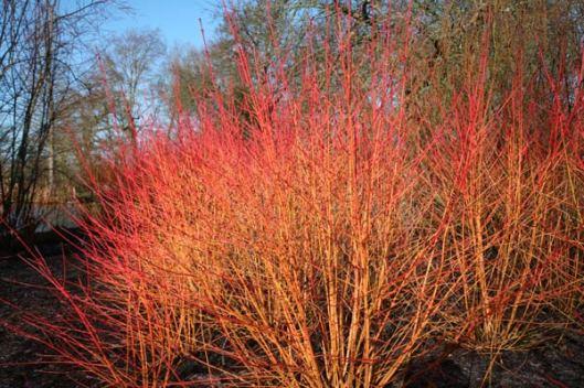 APP - CORNUS sanguinea 'Midwinter Fire' 2-17-14