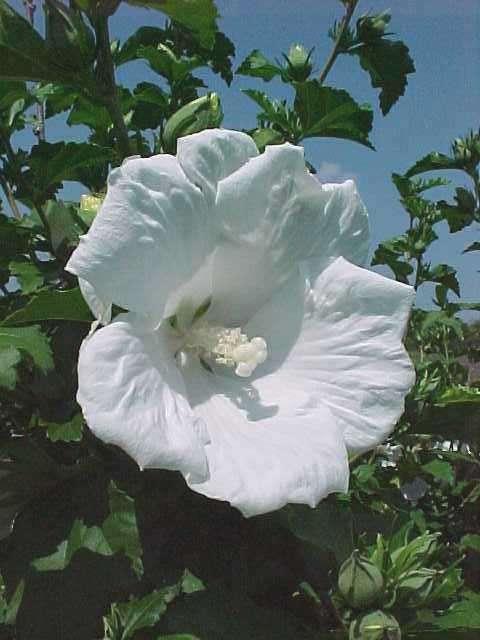 Hibiscus syriacus Diana 08-26-10