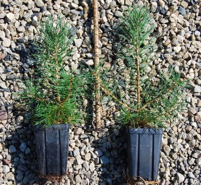 ENC - Scotch Pine Quarts 12-28-13