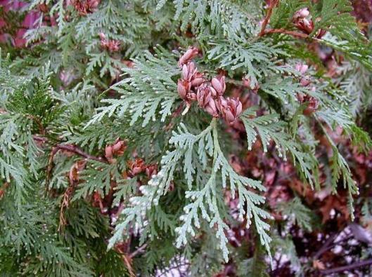 PPN - Thuja occidentalis 3-27-14