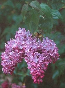 SYRINGA x hyacinthiflora 'Pocahontas'