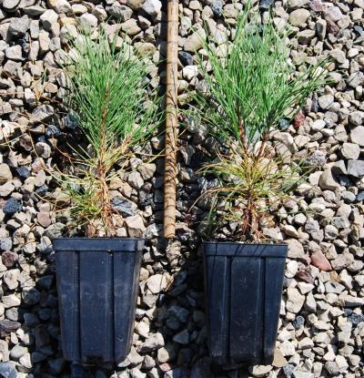ENC - Red Pine Quarts 12-28-13