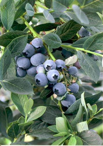 Blueberry Misty 1-7-15