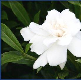 LSI - gardenia jasminoides 'frost proof' 2-15-14