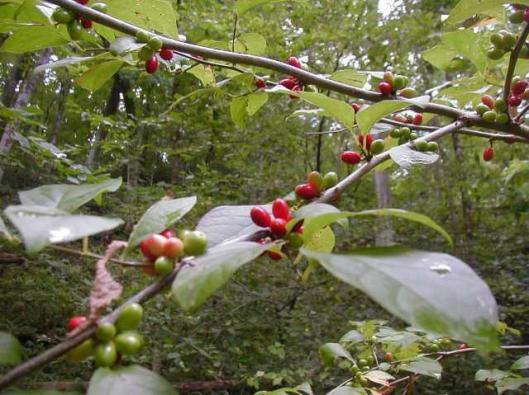 APP - MISC Lindera Benzoin Spicebush 3-25-15