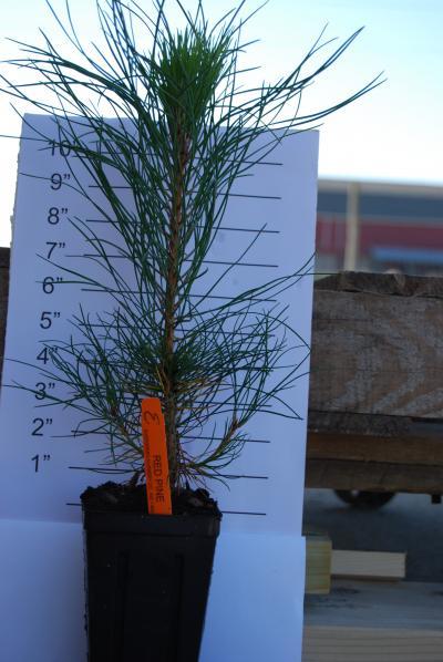 ENC - Red Pine Quarts 3-14-15