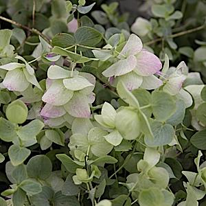 CH - ORIGANUM rotundifolium 'Kent Beauty' 2-12-14